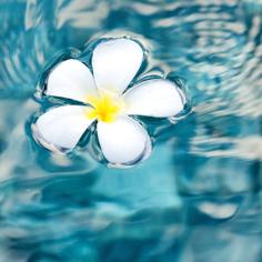 plumeria-floating-water